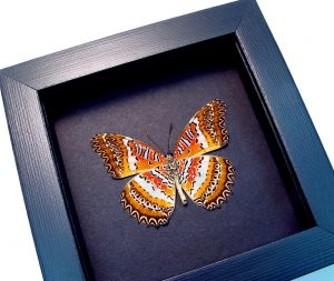 Cethosia biblis Verso Red Lacewing Butterfly Moonlight Display ooak