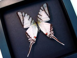 Eurytides Protesilaus Zebra Swallowtail Moonlight Display ooak
