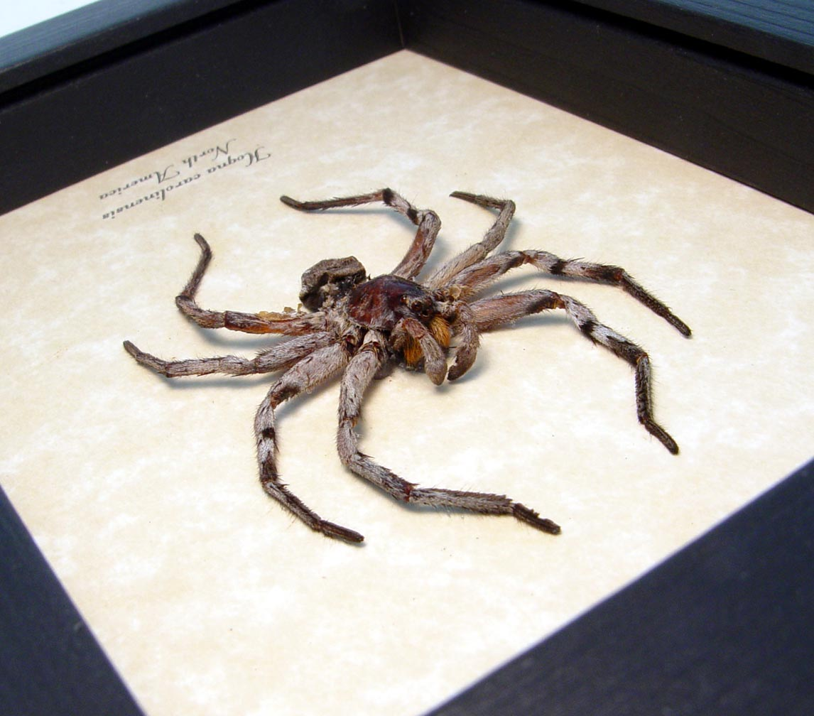 Hogna carolinensis Large Carolina Wolf Spider ooak