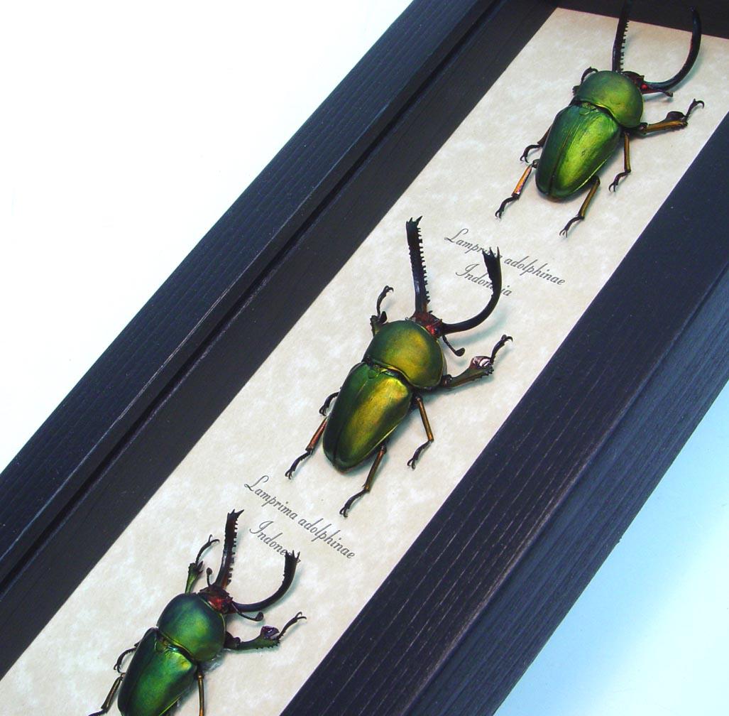 Beetle Collection Metallic Stag Beetles Lamprima adolphinae Set ooak