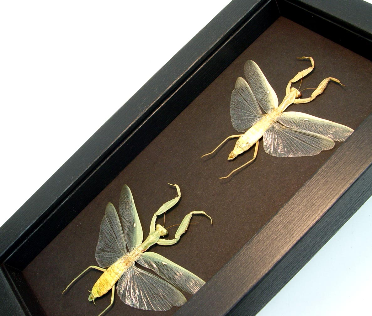 Mantidae Species Praying Mantis Set Moonlight Display ooak