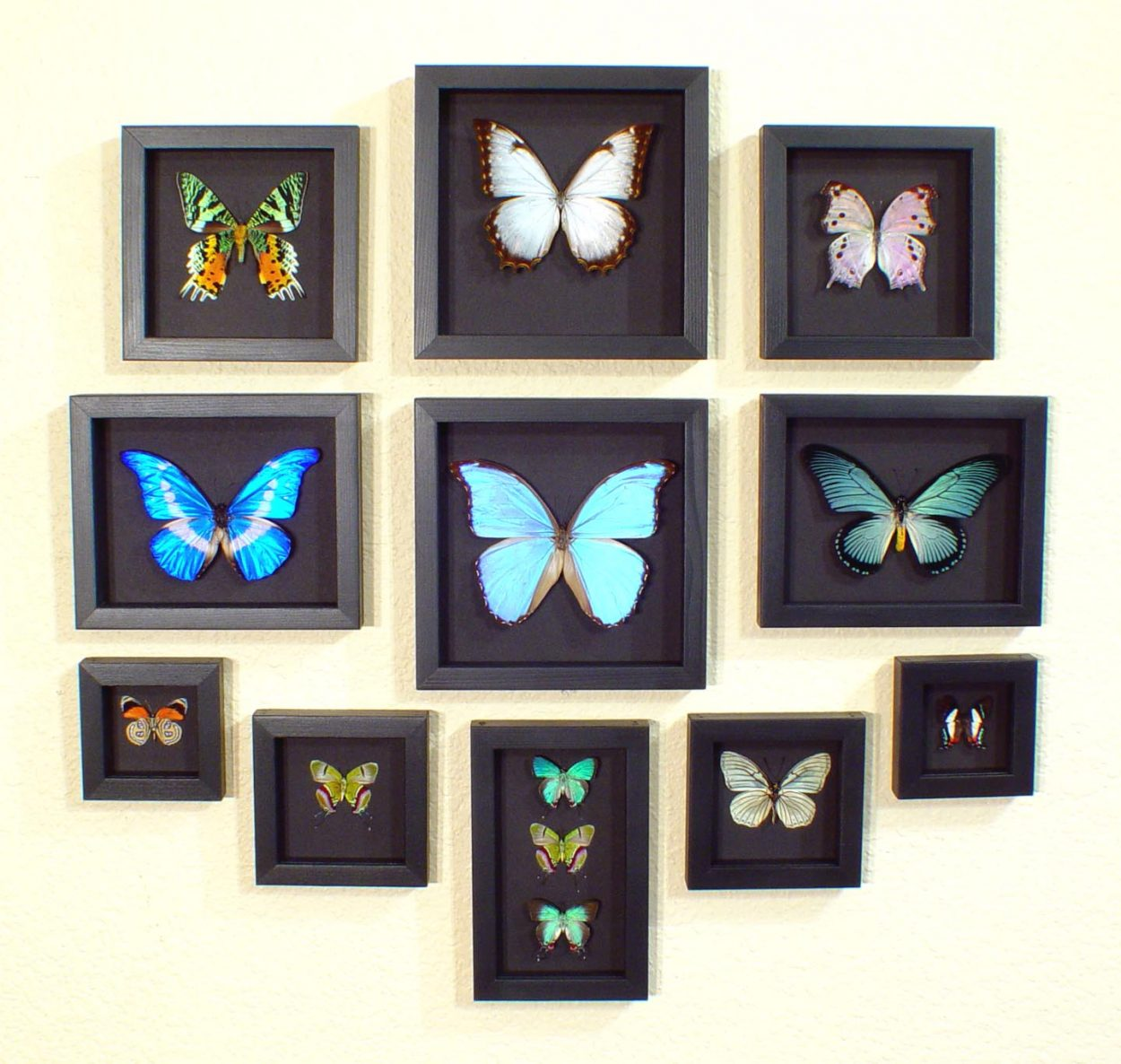 Moonlight Displays Real Framed Butterfly Moth Museum Quality Black Backed Archival Displays