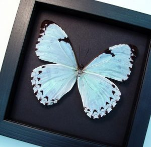 Morpho catenarius Mint Morpho Moonlight Display