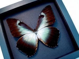 Framed Blue Morpho Butterfly Moonlight Display ooak