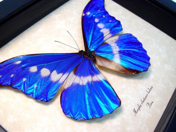 Framed Blue Morpho Butterfly Morpho rhetenor helena ooak