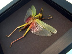 Orthoptera Male Pink Grasshopper Moonlight Display ooak