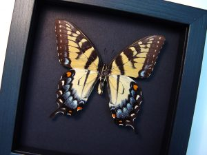Papilio Glaucus Female Tiger Swallowtail Moonlight Display ooak