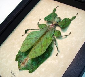 Phyllium giganteum Female Dark Green Walking Leaf Insect ooak
