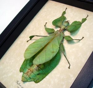 Phyllium giganteum Female Green Walking Leaf Insect ooak