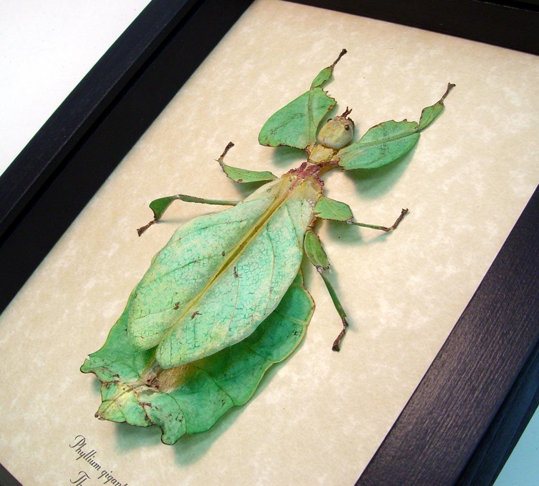 Phyllium giganteum Female Light Green Walking Leaf Insect ooak