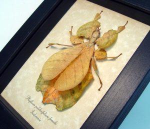Phyllium pulchrifolium Orange Walking Leaf Insect ooak