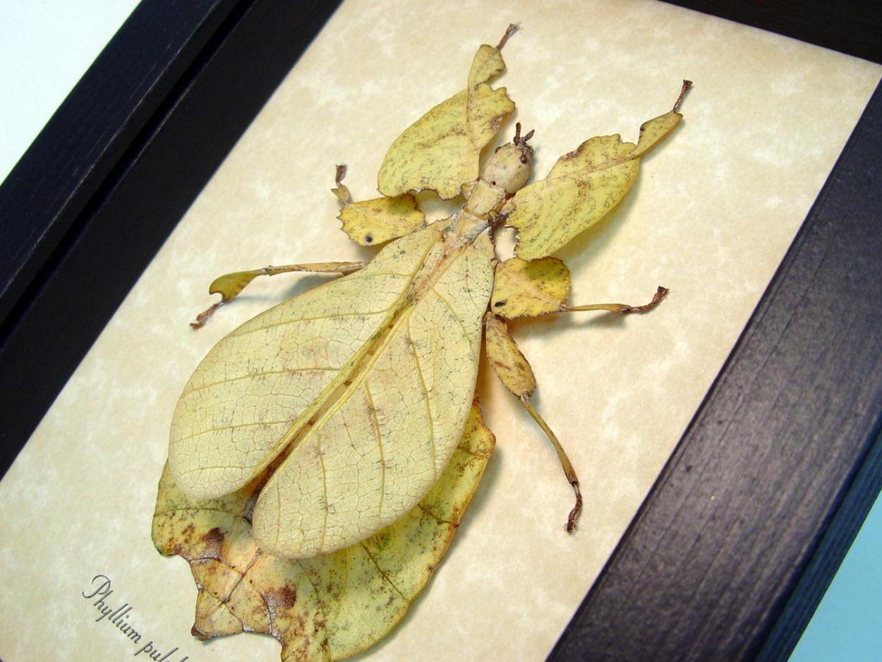 Phyllium pulchrifolium yellow Walking Leaf Insect ooak