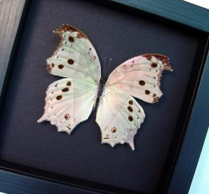 Salamis parhassus Female Mother Of Pearl Butterfly Moonlight Display ooak
