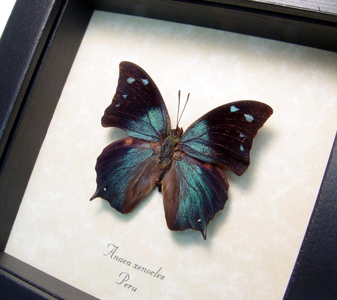 Framed Blue Butterfly Anaea xenocles ooak