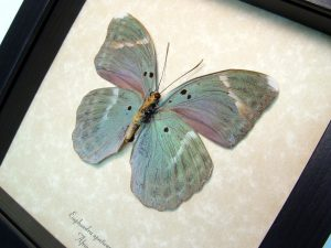 Real Framed Butterfly Green Forester ooak