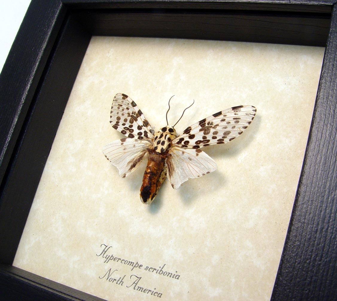 Framed Giant Leopard Moth Hypercompe scribonia ooak
