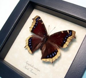 Mourning Cloak Butterfly Framed Nymphalis Antiopa ooak