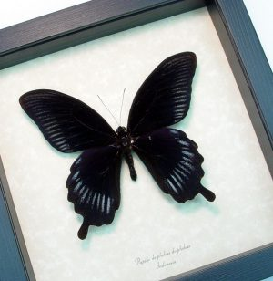Framed Black Butterfly Giant Swallowtail ooak