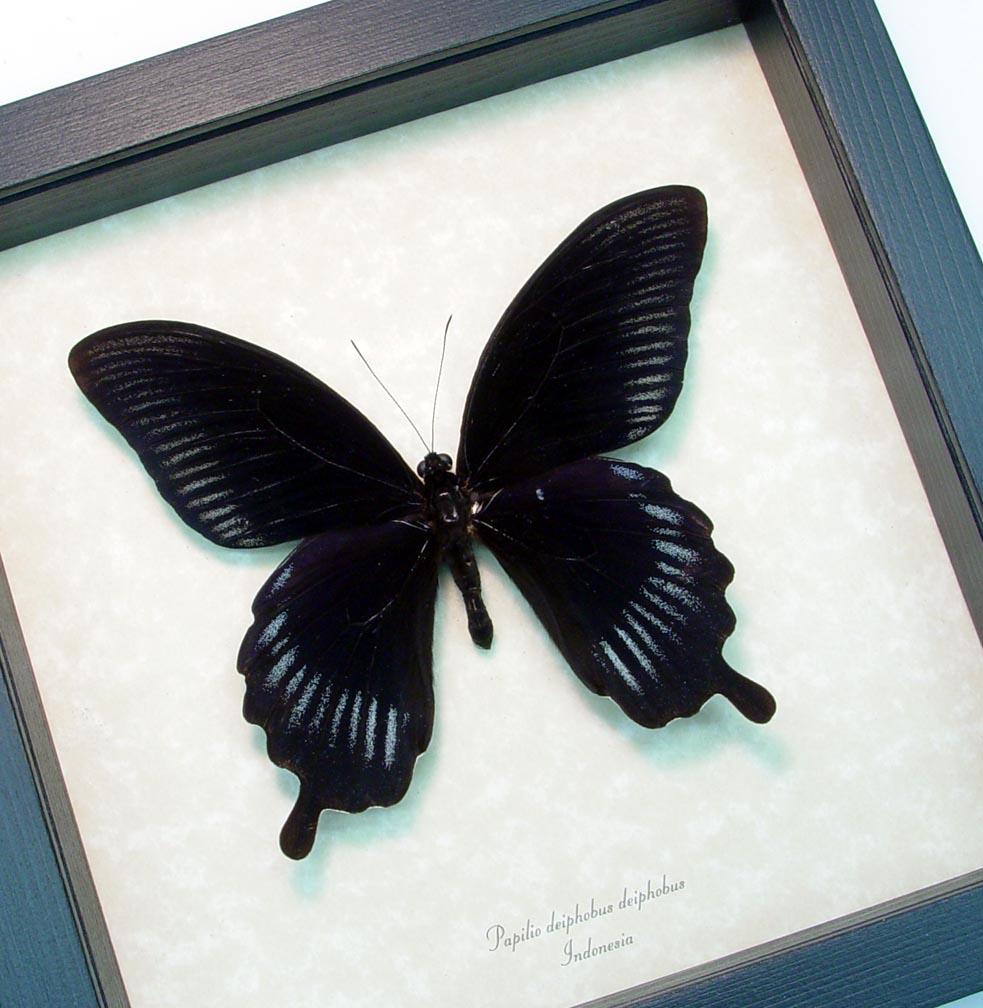 Framed Black Butterfly Giant Swallowtail ooak