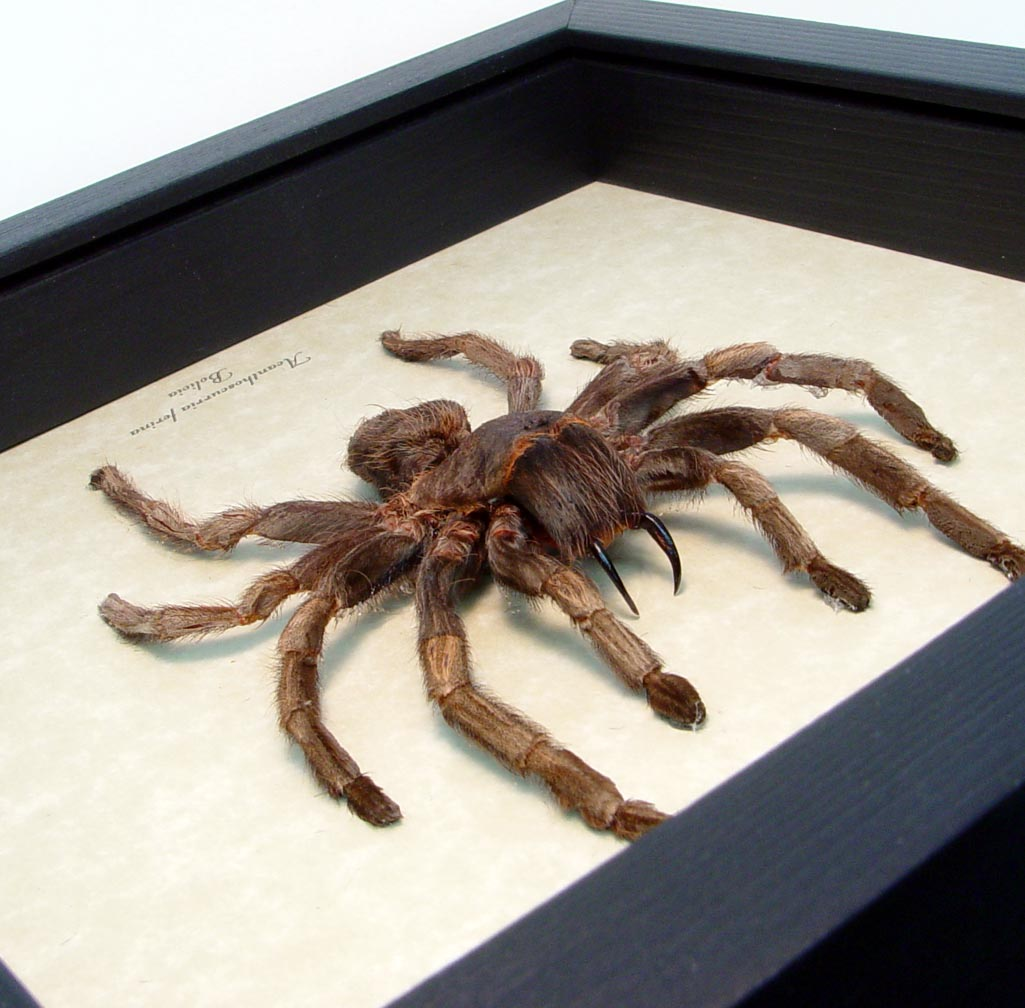 Brazilian whiteknee Tarantula Real Framed Spider ooak