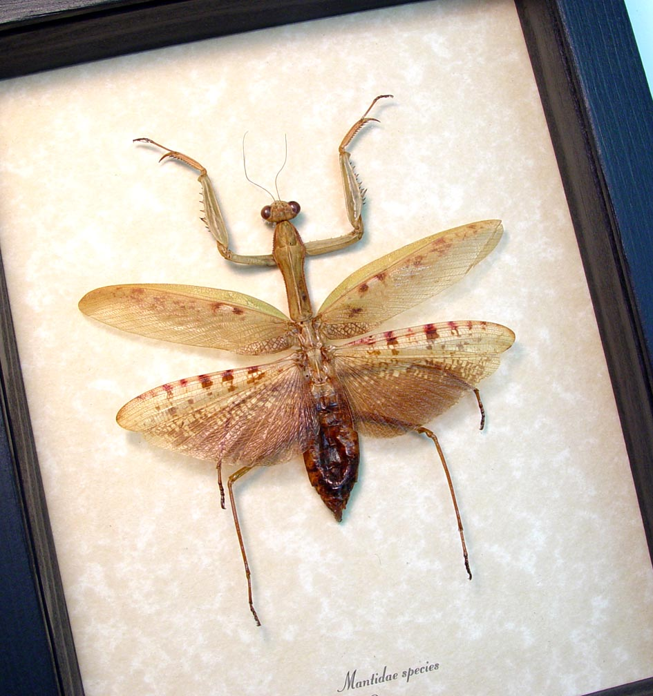 Giant African Praying Mantis Mantidae Sp ooak