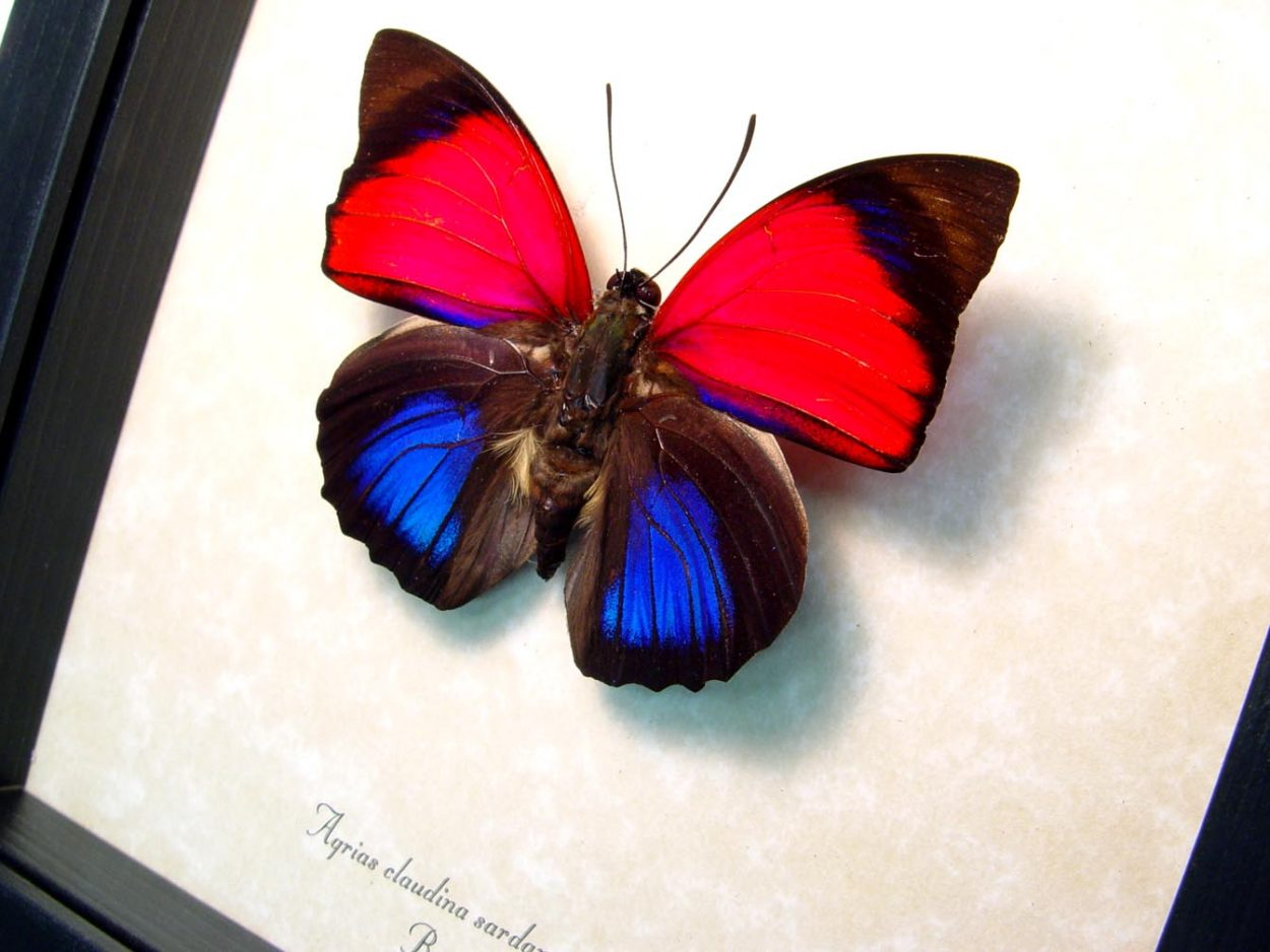 Real Framed Butterfly Agrias claudina sardanapalus  OOAK