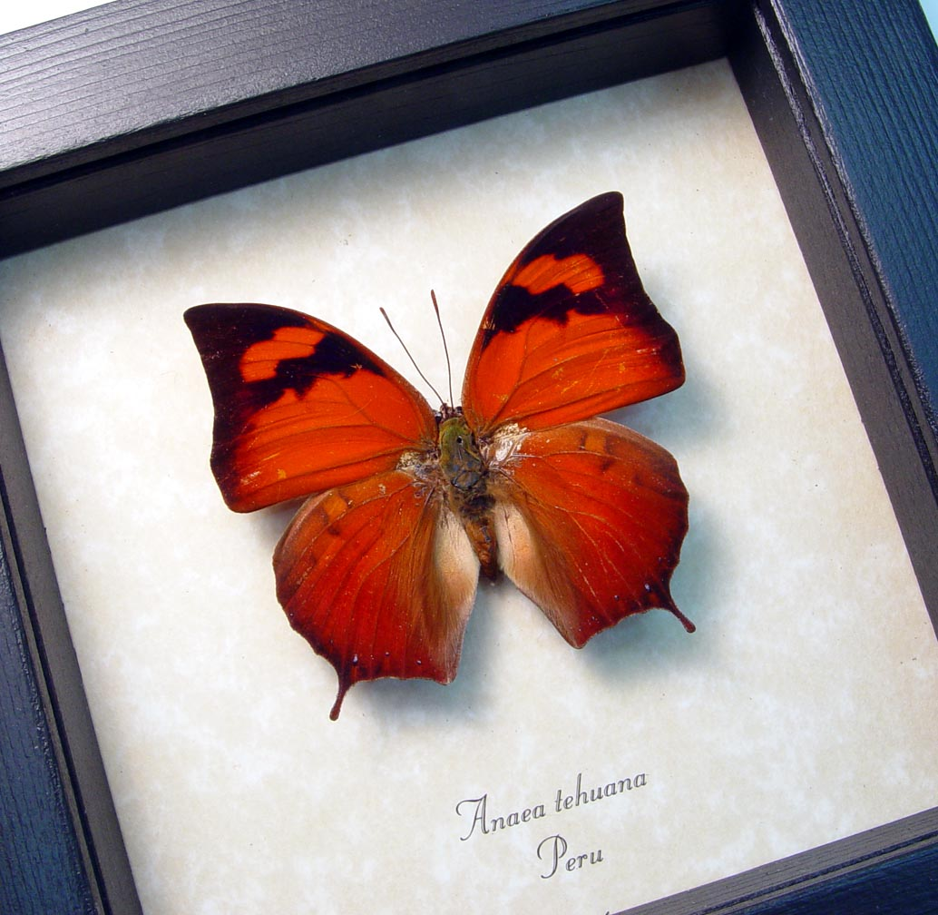 Orange Butterfly Anaea tehuana framed butterfly ooak