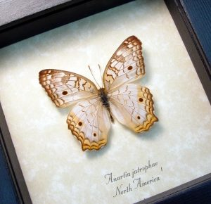 White Peacock Framed Butterfly Anartia jatrophae ooak