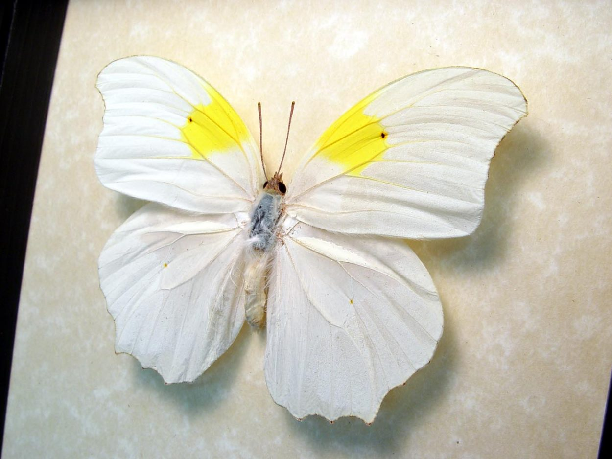 Anteos Chlorinde White Angled Sulphur Flower Shaped Butterfly ooak