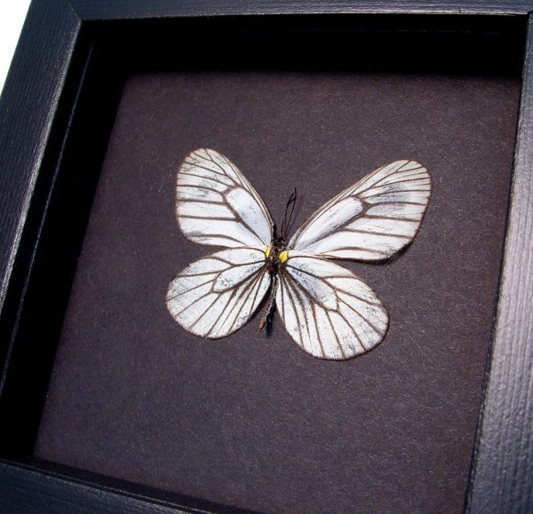 Snow White Russian Butterfly Aporia hippia Moonlight Display