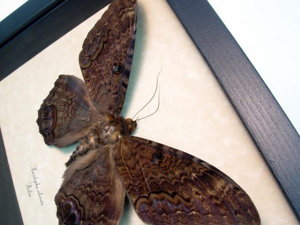 Black Witch Moth Ascalapha odorata Med ooak