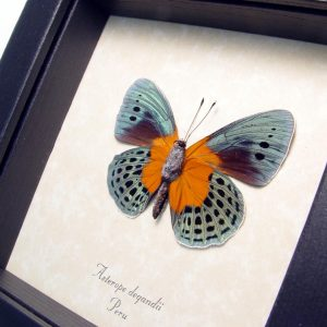 Framed Asterope Degandii Orange Blue Butterfly ooak