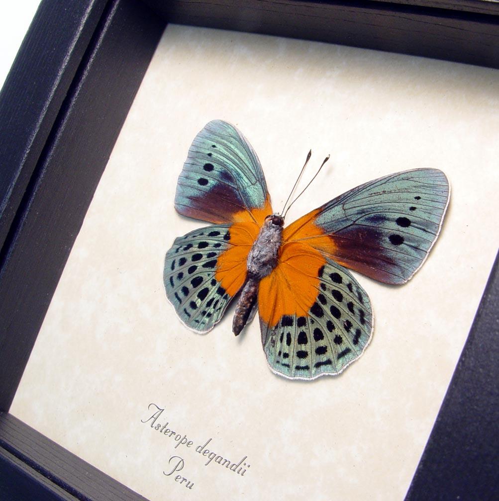 Framed Asterope Degandii Orange Blue Butterfly ooak
