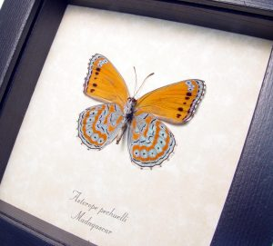 Framed Asterope pechuelli Orange Lavender Butterfly ooak