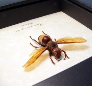 Hymenoptera Banded Amber Hornet Framed Insect ooak