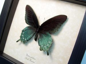 Pipevine Swallowtail Butterfly Battus Philenor ooak