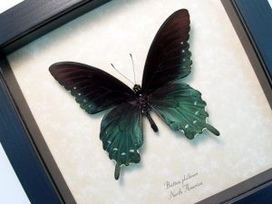 Framed Pipevine Swallowtail Butterfly Battus Philenor ooak