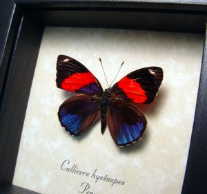 Real Framed Butterfly Callicore hystaspes ooak