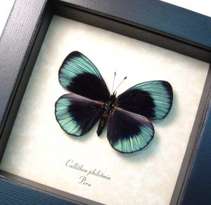 Charles Darwin Butterfly Metallic Blue Butterfly Female ooak