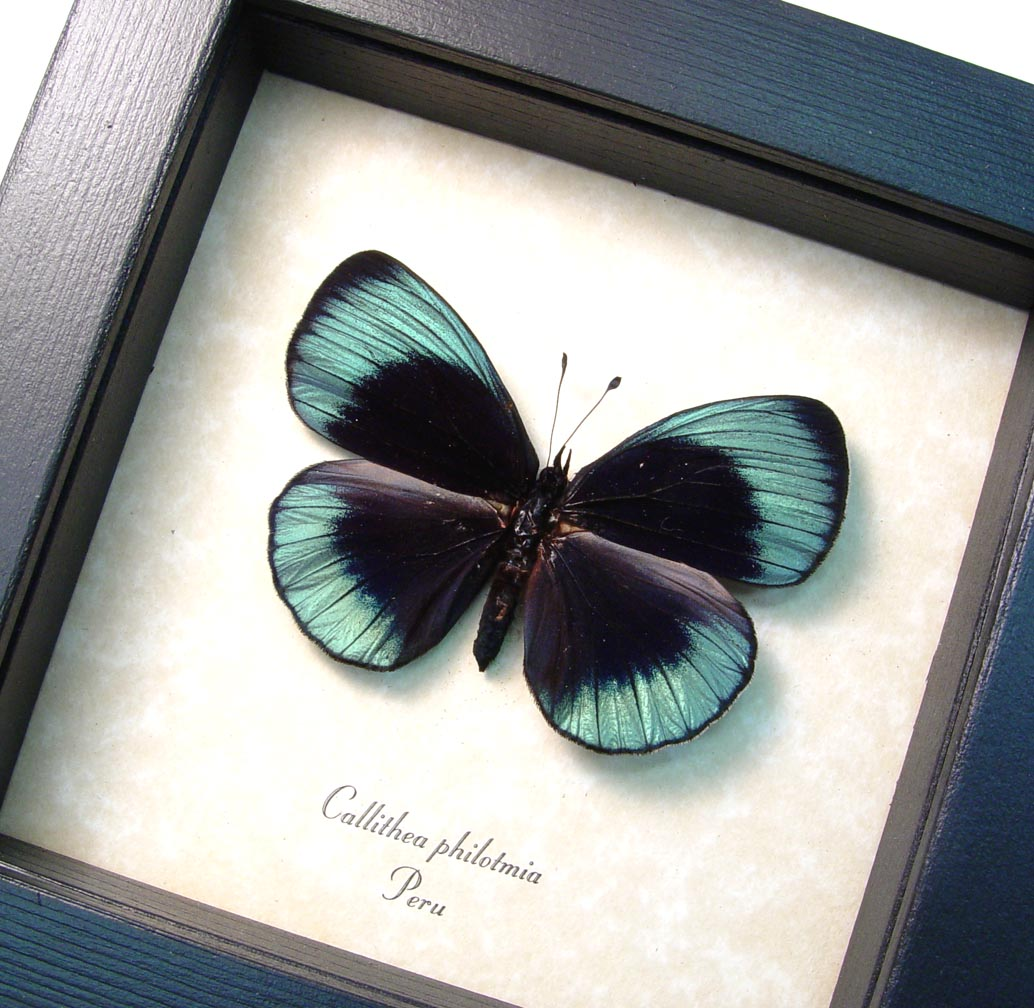 Charles Darwin Butterfly Metallic Blue Butterfly Female