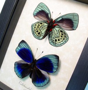 Metallic Blue Butterflies Framed Callithea philotmia Pair ooak