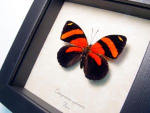 Blood Red Butterfly Framed Catagramma cynosura ooak