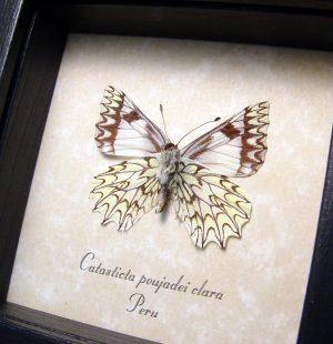 Catasticta poujadei clara Verso Dartwhite Butterfly ooak