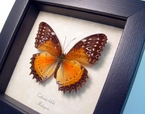 Cethosia biblis Female Red Lacewing Framed Butterfly ooak