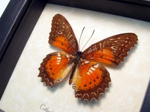 Cethosia Biblis Picta Bared Lacewing Butterfly ooak