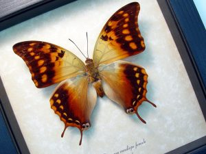 Charaxes candiope Female African Dagger Tail Framed Butterfly ooak