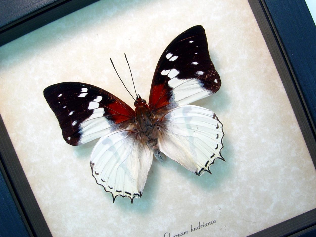 Charaxes hadrianus White Charaxes African Butterfly ooak