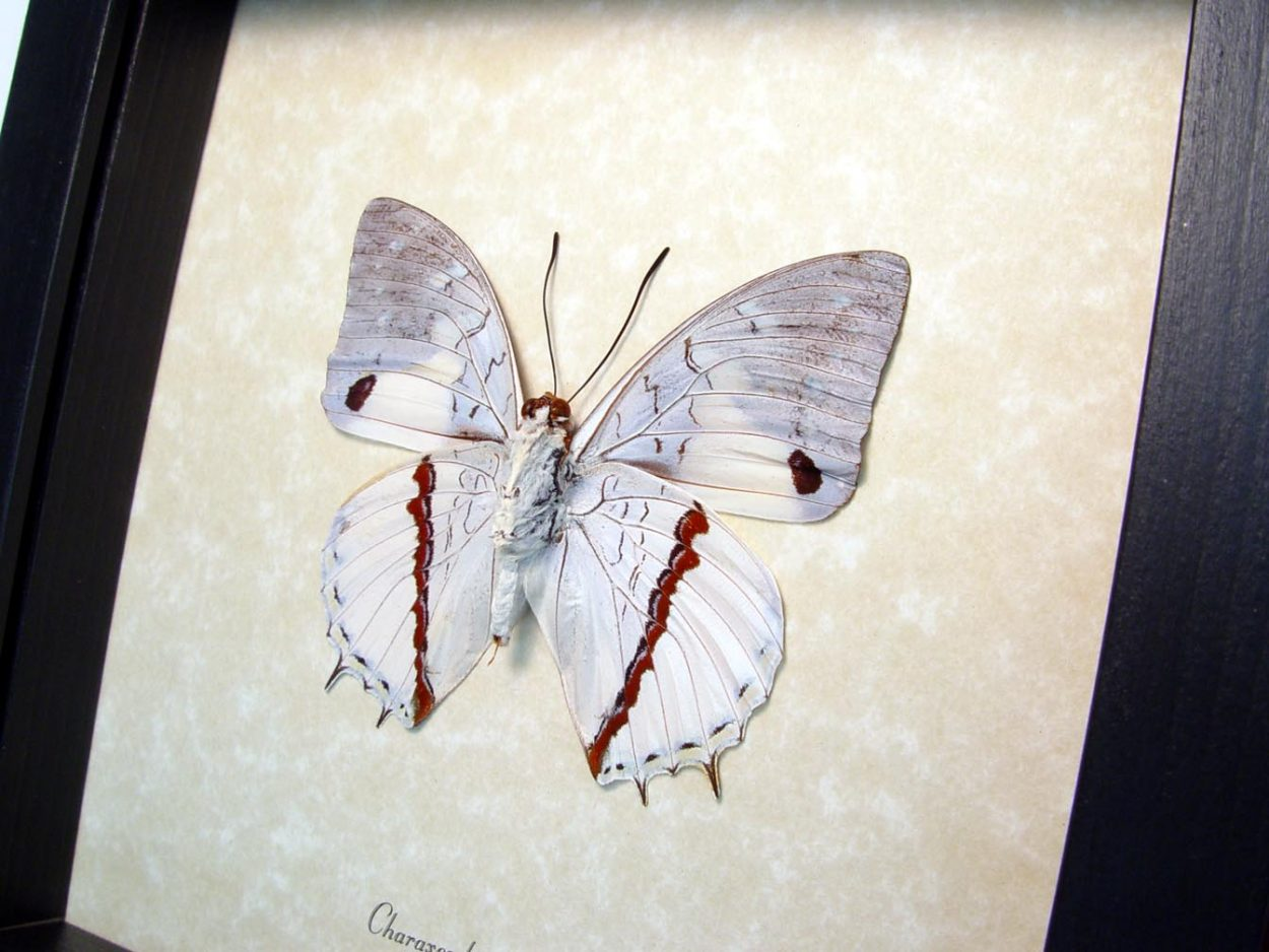 Charaxes hadrianus Verso White Charaxes Kuba Cloth Butterfly ooak