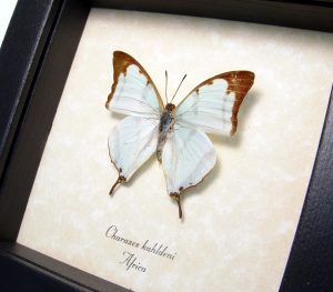Mint Green Butterfly Charaxes kahldeni Framed African Butterfly ooak