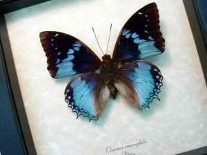 Charaxes smaragdalis Western Blue Charaxes African Butterfly ooak